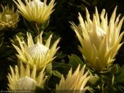 Protea cynaroïdes White Crown